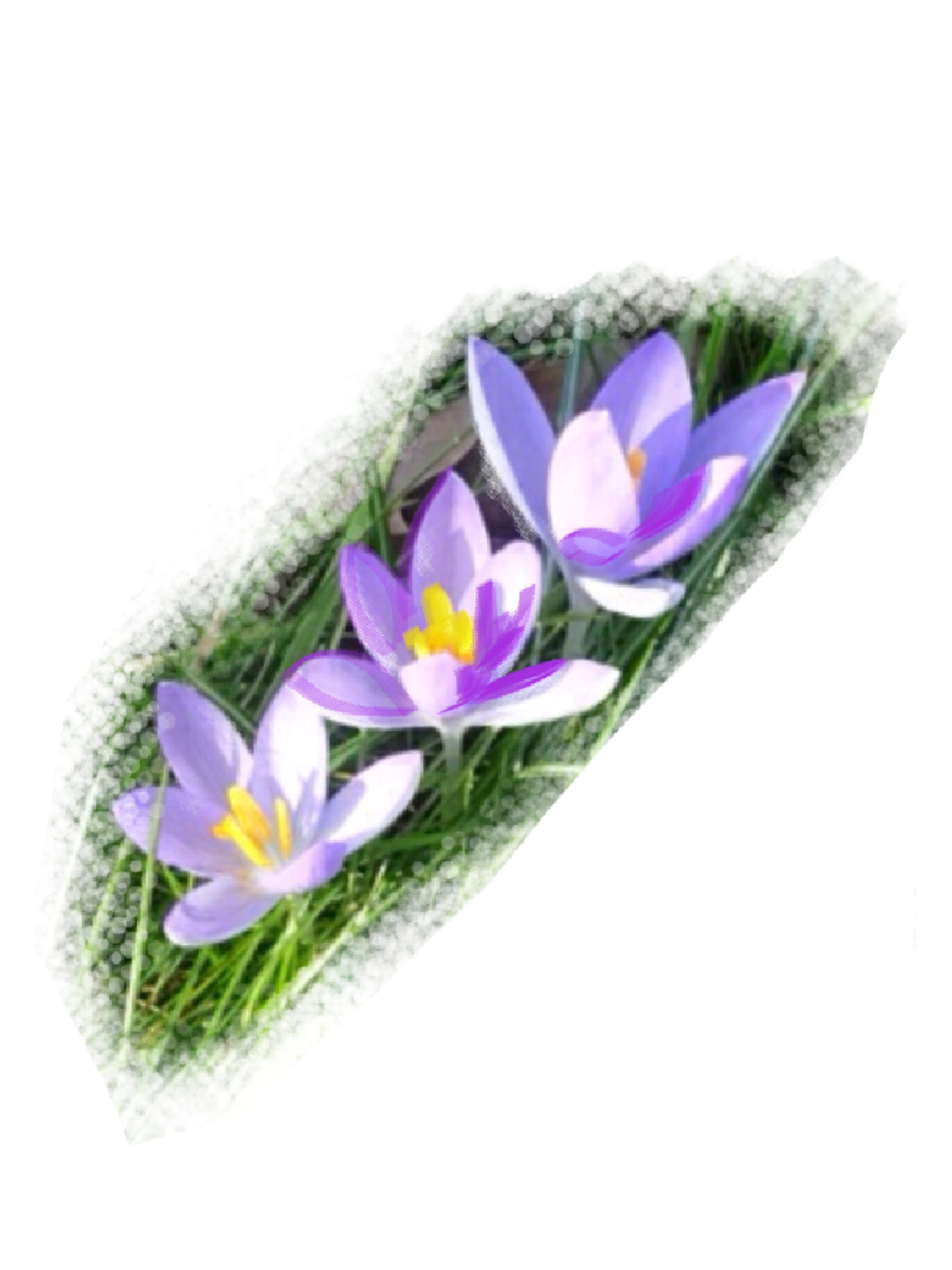 Crocuses, David Oppenheim, Digital Drawing over Photograph